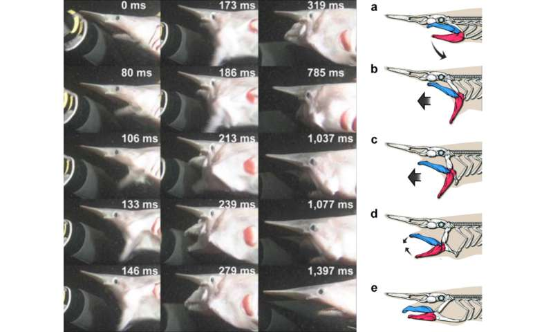 Unraveling the jaw-dropping goblin shark