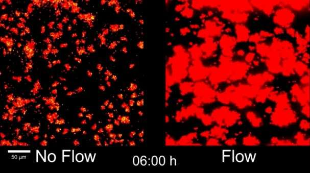 How bacterial communication 'goes with the flow' in causing infection, blockage