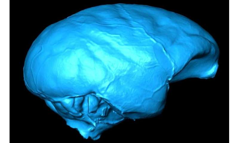 Monkey skull study suggests brain evolved in spurts