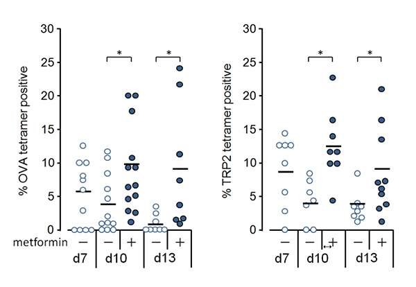 Metformin confers anti-tumor immunity by reactivating exhausted CD8T lymphocytes