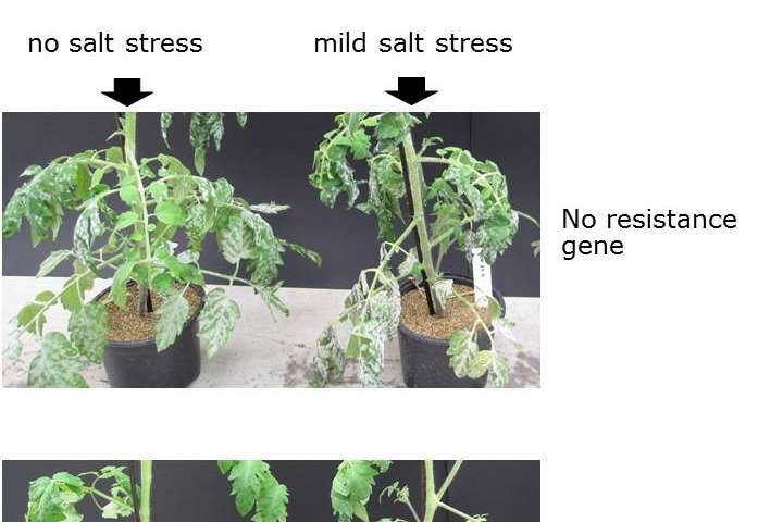 Some but not all plants can defend themselves against disease on saline soil