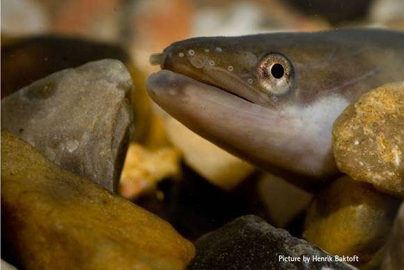 New research dispels myth that European Eels are trapped in the Mediterranean