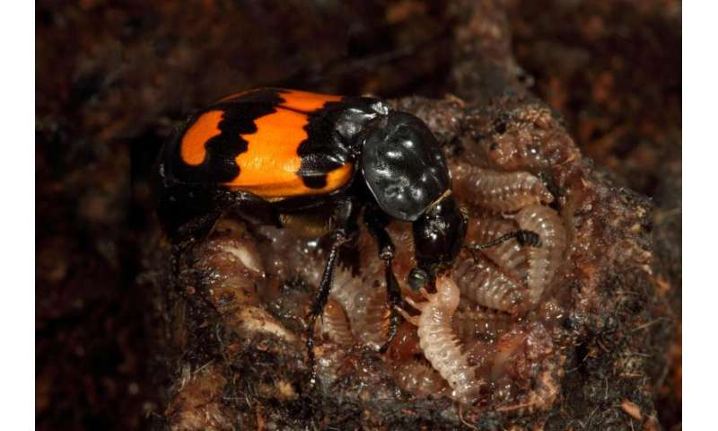 Female burying beetle emits pheromone to ward off male desire during parental care
