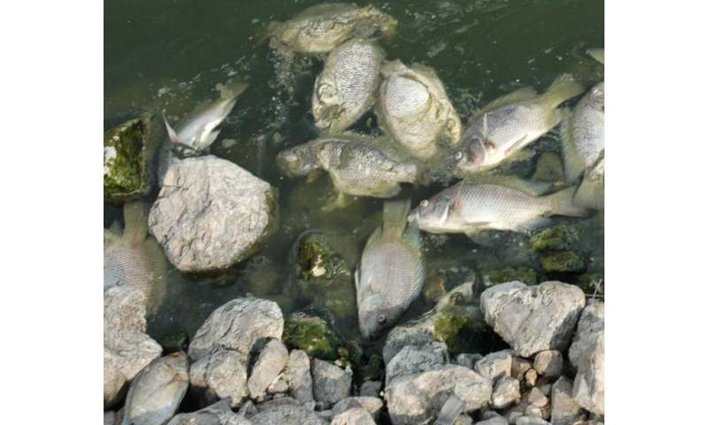 Researchers discover new fish virus that threatens global tilapia stocks