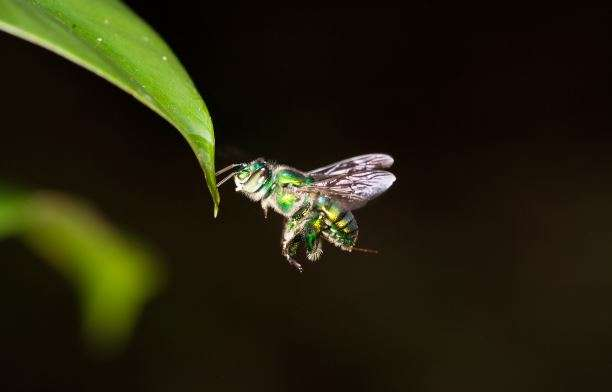 Researchers reveal how orchid bees navigate through the depths of the rainforest