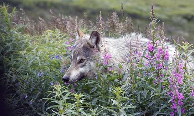 Hunting wolves near Denali, Yellowstone cuts wolf sightings in half