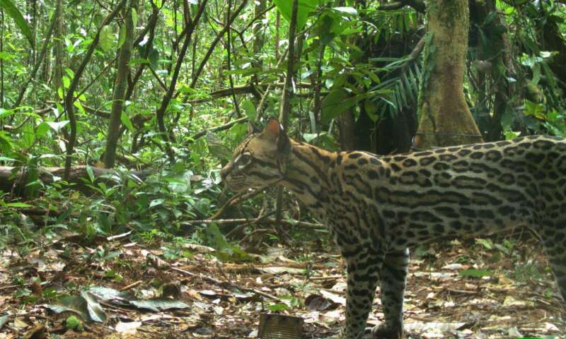 Ocelot density in the Brazilian Amazon may be lower than expected