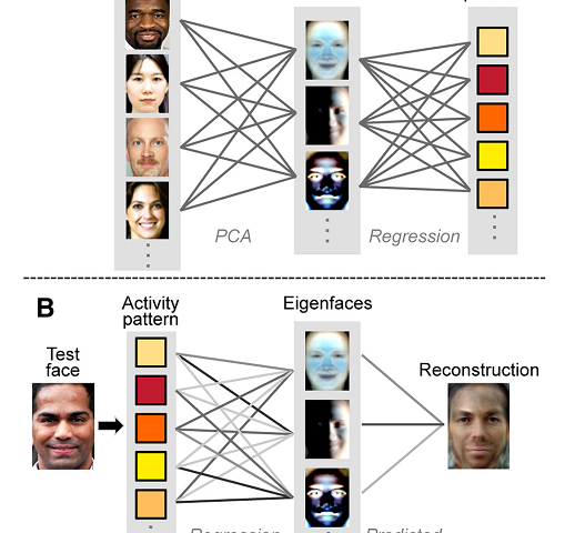 Researchers explore decoding faces from neural activity
