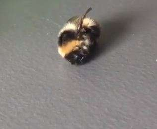 The search for the Arctic bumblebee