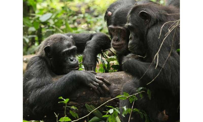 Travel broadens chimps' horizons too