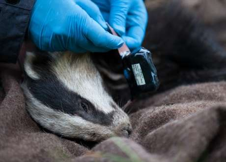 Badgers and cattle seldom meet, says new study