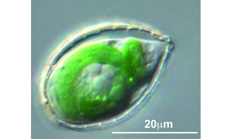 scientists reveal how a little-known amoeba engulfed a bacterium to become photosynthetic