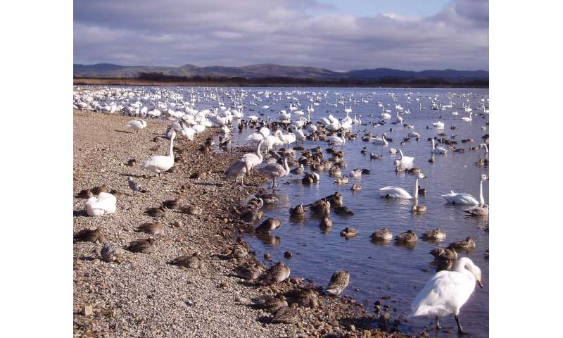 Migration routes hold key to bird flu spread, global study finds
