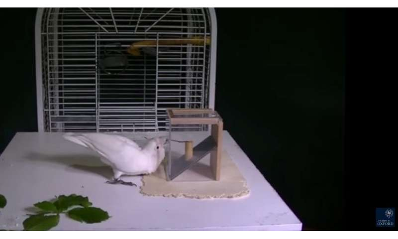 Skillful cockatoos filmed making the same tool from different materials