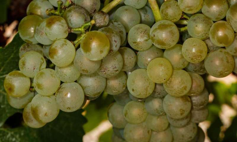 Winegrape powdery mildew app goes global