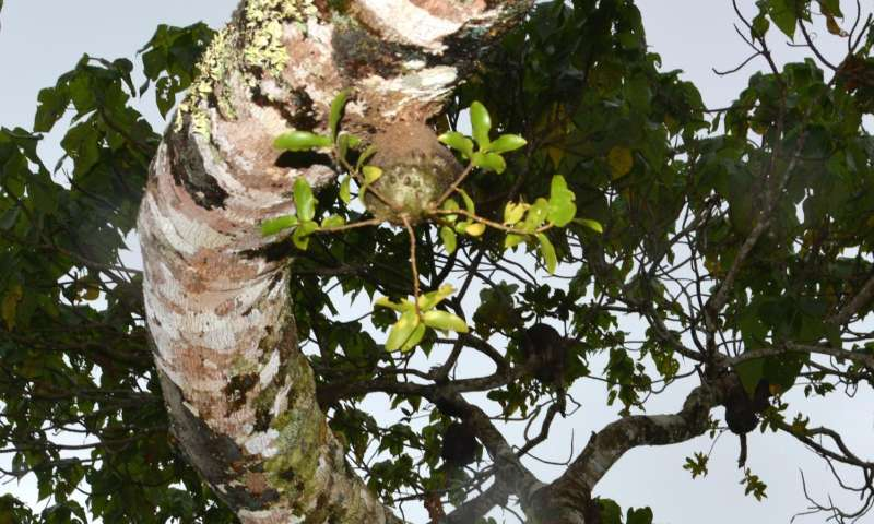 Fiji ants farm plants, study shows