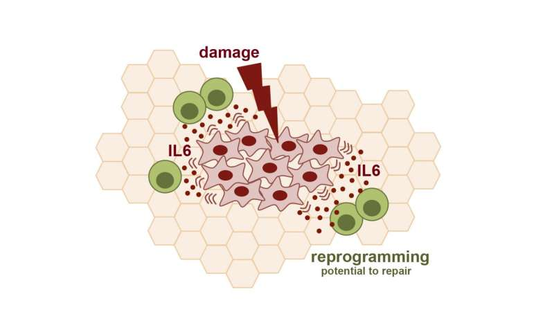 Tissue damage is key for cell reprogramming