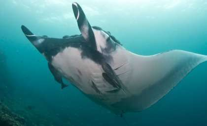 Giant rays shown to be predators of the deep