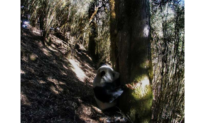 Researchers calculate minimum amount of land perseveration needed to prevent extinction of giant panda