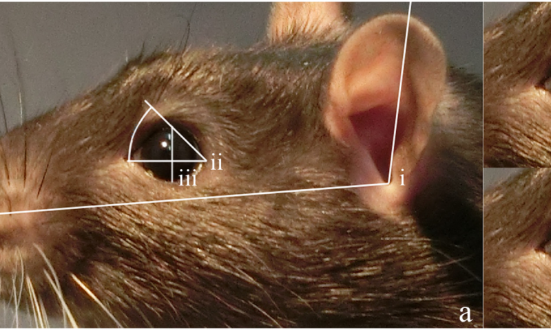 Study suggests rats smile with their ears