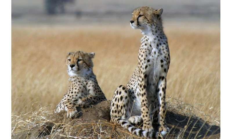 Sprinting towards extinction? Cheetah numbers crash globally