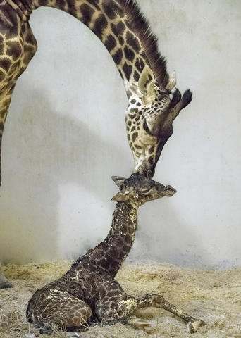 A squirt at 6 feet: Baby giraffe to debut at Los Angeles Zoo