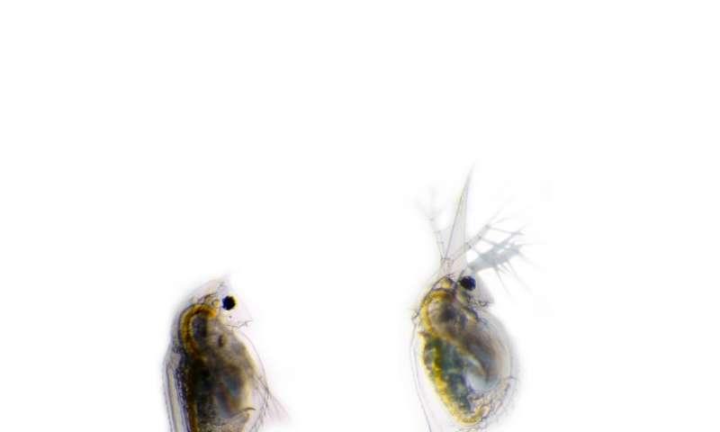 Transforming water fleas prepare for battle!