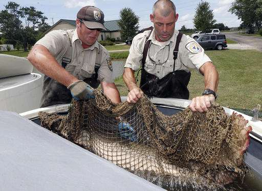 Huge, once-hated fish now seen as weapon against Asian carp