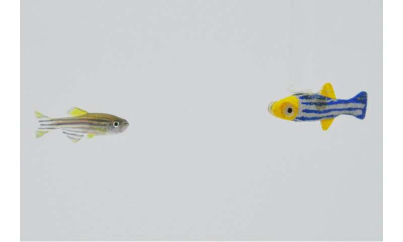 Researchers find zebrafish want to hang out with moving 3-D robotic models of themselves