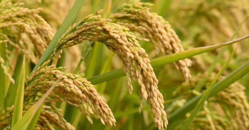 A biofortified rice high in iron and zinc is set to combat hidden hunger in developing countries