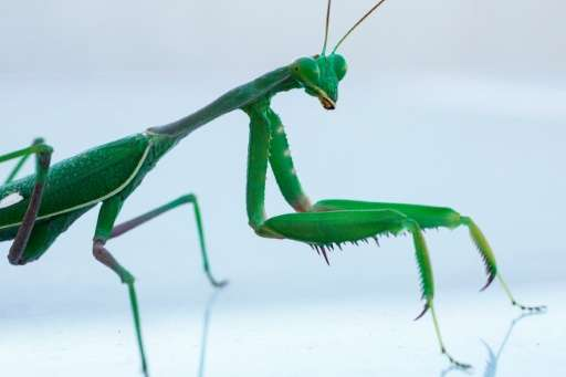 According to a new study, the female praying mantis' proclivity for devouring her mate may have evolved to better provide for he