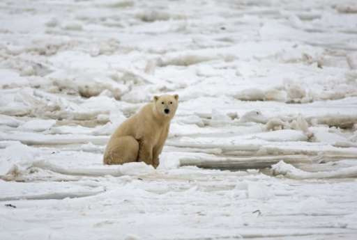 According to environmental group WWF, the retreating sea ice is more frequently bringing polar bears into confrontation with hum