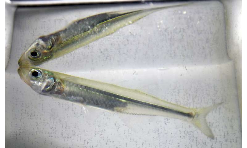 Acidification and low oxygen put fish in double jeopardy