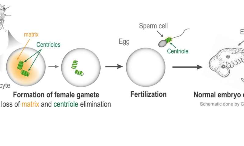 A critical inheritance from dad ensures healthy embryos