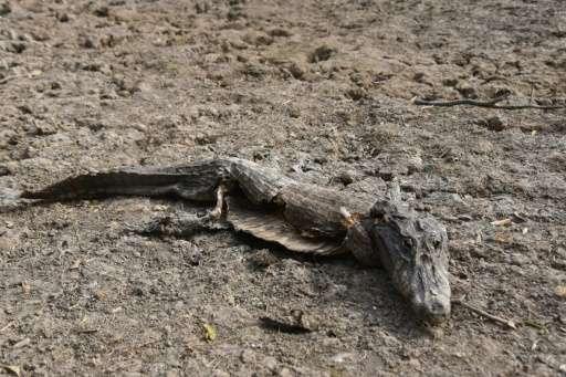 A dead caiman is seen in General Diaz, Paraguay on June 24, 2016