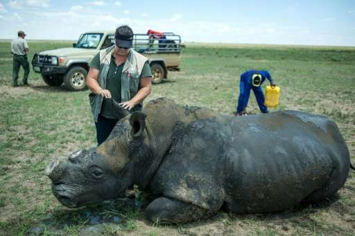 A dehorned rhino slowly wakes up from the anaesthetic after his horn was trimmed at John Hume's Rhino Ranch in South Africa's No