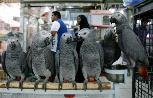 African Grey parrots on sale at a bird market in Kuwait City