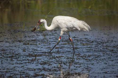 Age before youth: Older cranes lead the way to new migration patterns
