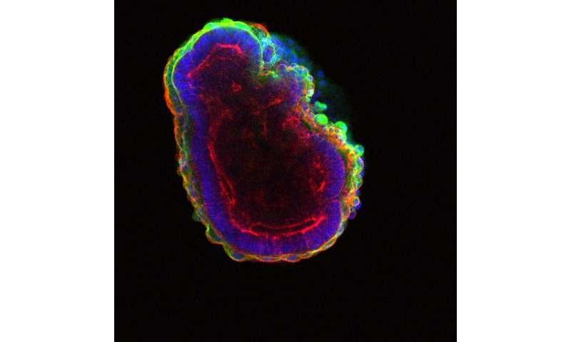 A gene called Prkci helps organize organisms and their organs