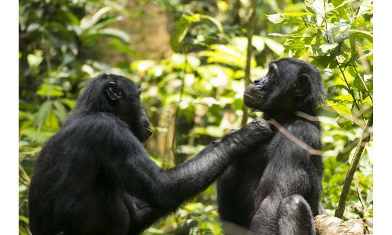 Aging bonobos in the wild could use reading glasses too