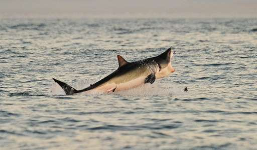 A Great White shark jumps out of the water as it hunts Cape fur seals near False Bay, South Africa, on July 4, 2010
