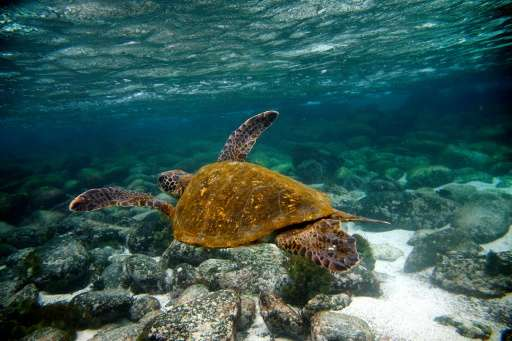 A Green turtle swims near San Cristobal island in the Galapagos Archipelago