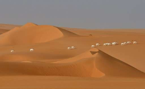 A herd of Saharan Addax antelope seen from afar walking across the sands of the Tin Toumma desert near Diffa, Niger on May 6, 20