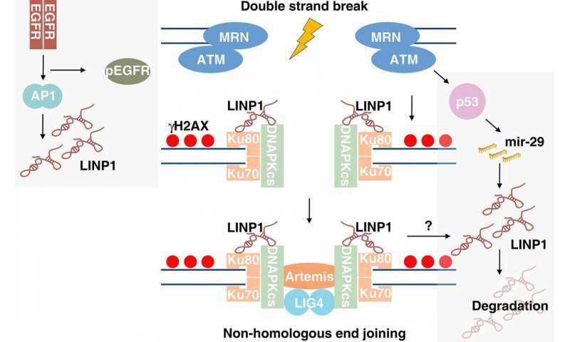A long-noncoding RNA regulates repair of DNA breaks in triple-negative breast cancer cells