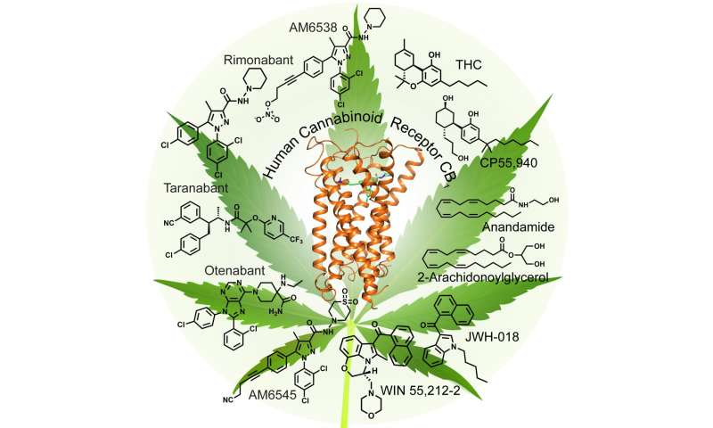 A look at the 'marijuana' receptor