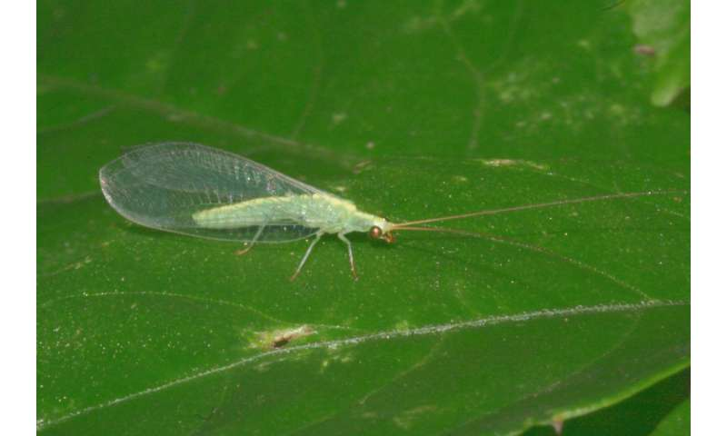 A male-killing bacterium results in female-biased sex ratios in green lacewings