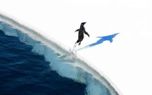 An adelie penguin jumps onto the ice in the Ross Sea in Antarctica