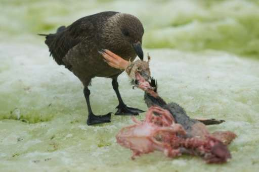 An Antarctic skua eats the remains of a penguin, on Petermann Island