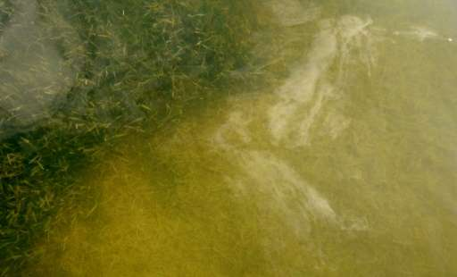 An area of healthy green seagrass is seen next to a patch that is yellow and dying in Florida Bay