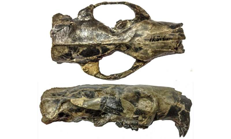Ancient rodent's brain was big ... but not necessarily 'smart'